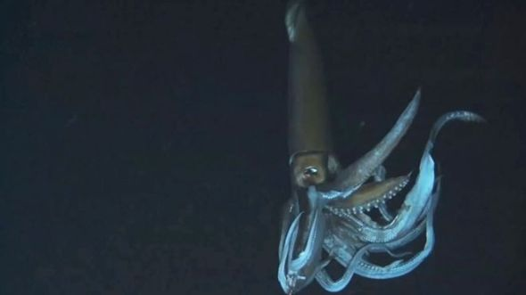giant squid video released 2