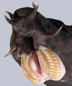 "You got a real purdy mouth. Hagfish pull their tongue in with a ""plunger like"" suction that draws their rasping teeth together to tear holes in rotting flesh."