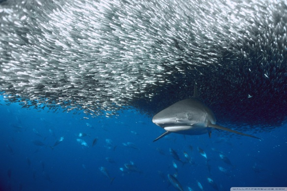Sharks improve the health of fisheries and ocean ecosystems.