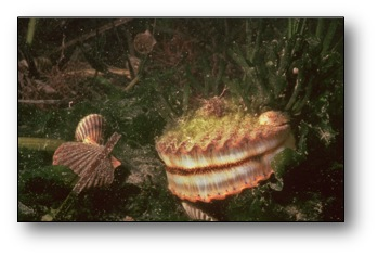 Scallops live in eelgrass beds.