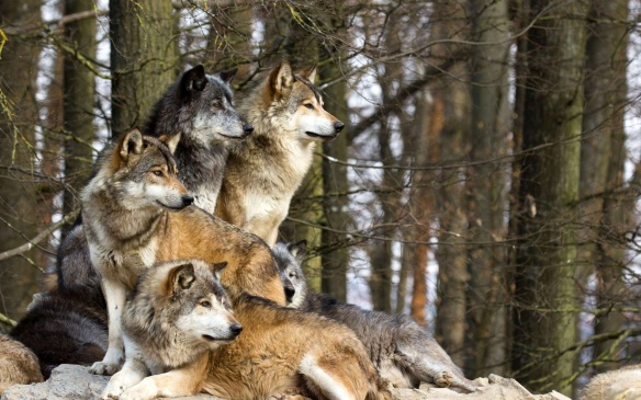 Gray wolves