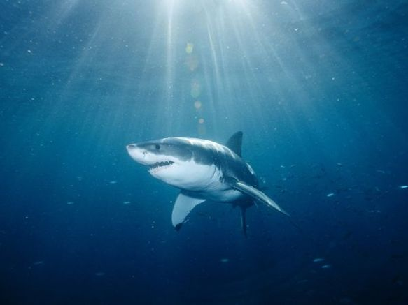 great-white-shark_559_600x450